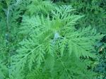 Ambrosia_artemisiifolia_jardin_Périgueux_(5).jpg
