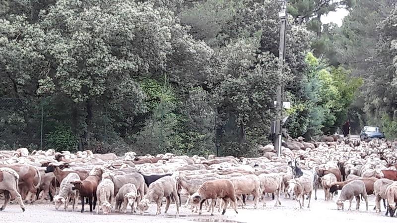 moutons saint donat 13 juin.jpg